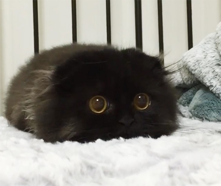 Ecco A Voi Gimo Il Gatto Con Gli Occhi Più Grandi Che Abbiate Mai