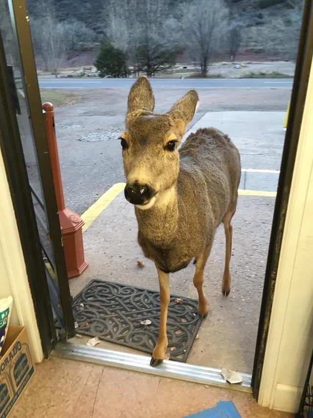 Un cervo entra in un negozio in cerca di cibo ma è mezz'ora dopo ...