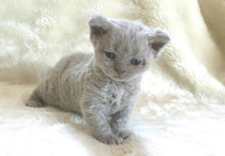 Katten Met Krullen Zijn Anders Dan Die Je Tot Nu Toe Gezien