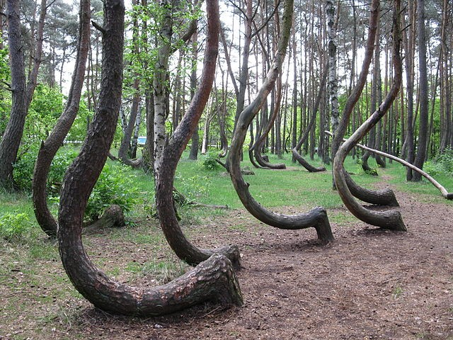 In Poland, there is a forest populated with twisted trees and no one knows why 1