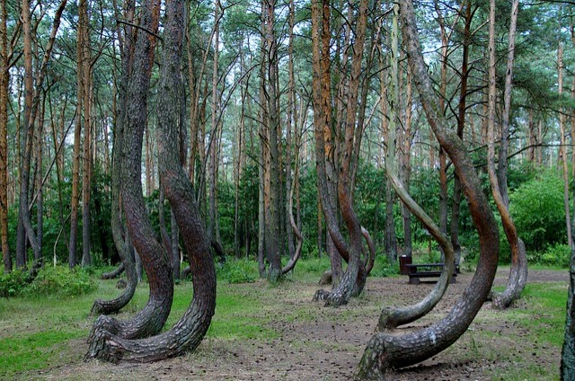 In Poland, there is a forest populated with twisted trees and no one knows why 2