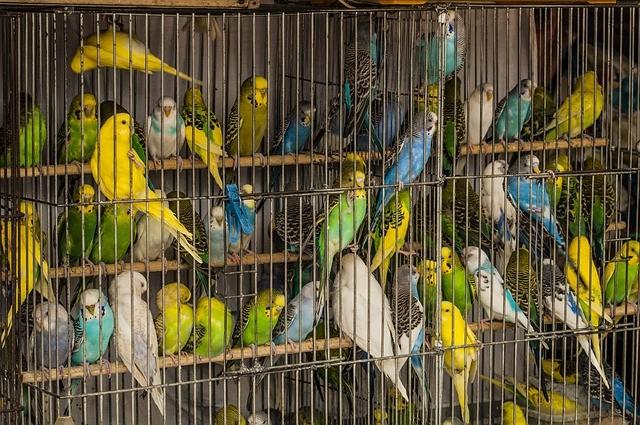 Risultati immagini per Sono stati salvati più di 500 uccelli stipati in gabbie piccolissime. Erano in attesa di essere venduti come animali da compagnia