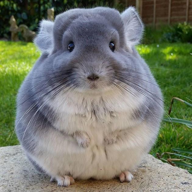 Il Cincillà: un adorabile topolino domestico dalla forma perfettamente  rotonda e dal pelo morbidissimo - GuardaCheVideo.it