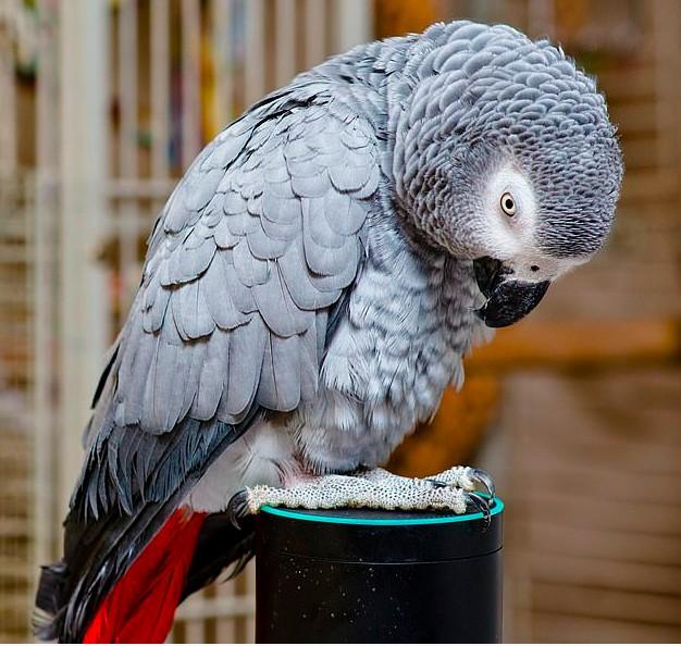 Un pappagallo imita alla perfezione la voce umana e riesce a ordinare il suo cibo preferito ad Alexa