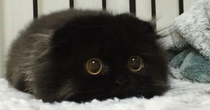 Il gatto con gli occhi pi grandi del mondo non for Gatti con occhi diversi