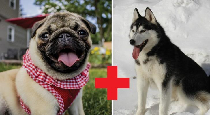 Wat gebeurt er als je een mopshond kruist met een hond van een ander ras?