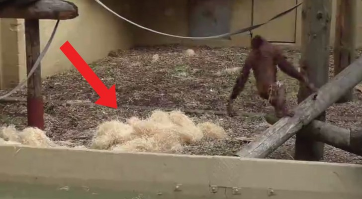 See why this orangutan makes piles of straw!
