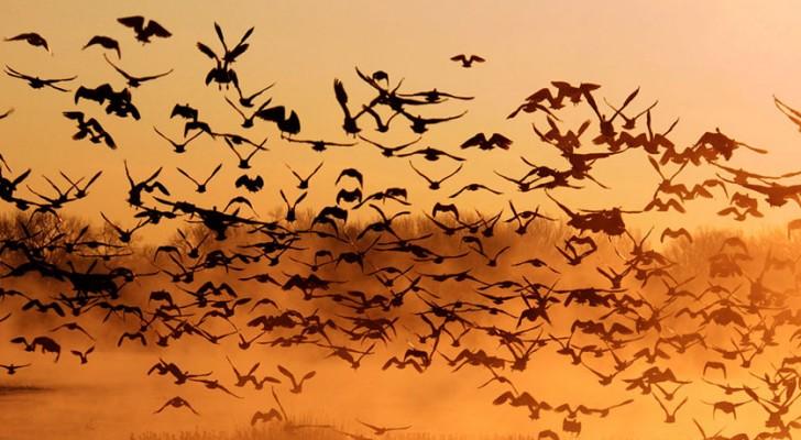 Come fanno gli uccelli a non scontrarsi mai in volo? Un curioso studio ha trovato la risposta