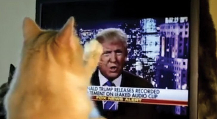 A silly cat tries to attack Trump!  Hilarious!