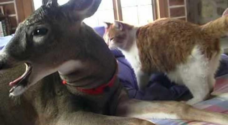 Le cerf et le chat: une étrange mais superbe amitié
