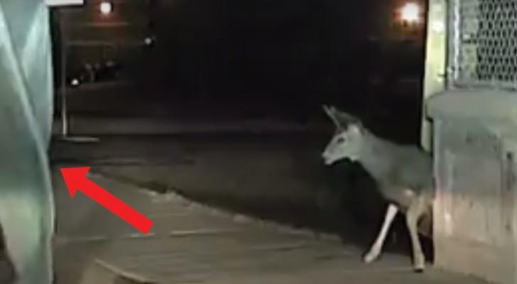 Avvista un cervo intrappolato: la tecnica a cui ricorre il poliziotto per liberarlo si rivela decisiva