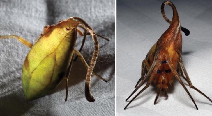 Importante scoperta nel mondo animale: quella che sembrava una foglia è una nuova specie di ragno!