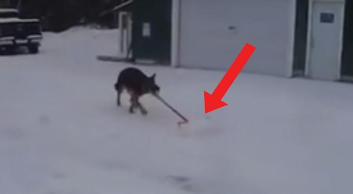Een Duitse herder pakt een sneeuwschep: zijn favoriete spel is een klusje waar zijn baasje een HEKEL aan heeft!