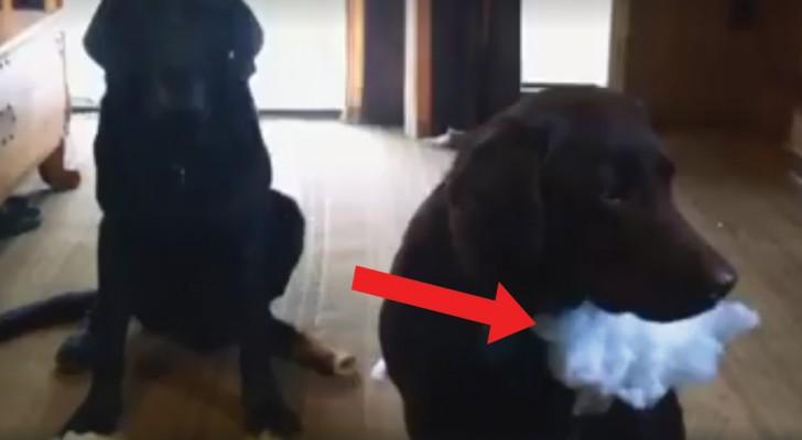 Een van deze twee honden heeft het huis overhoop gehaald. Wie is de schuldige?