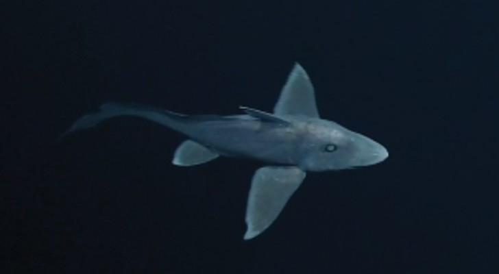 A rare sighting of a mysterious GHOST SHARK!