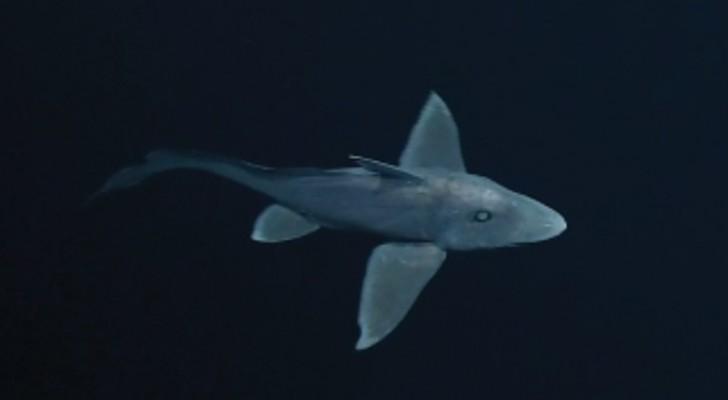 Filmé pour la première fois le mystérieux requin fantôme: le voici dans toute sa splendeur