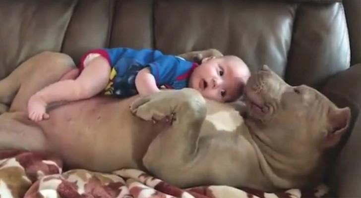Il bebè riposa sulla pancia del pitbull: la dolcezza del cane è indescrivibile