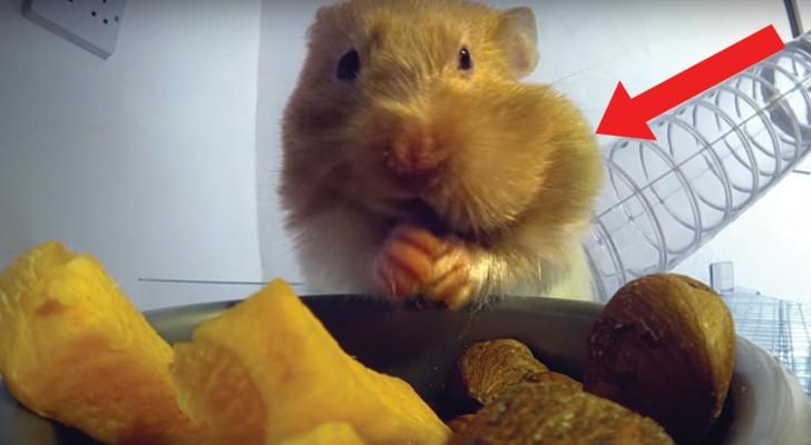 Il criceto fa scorta di cibo: non riuscirete a credere a QUANTO riesce a metterne nelle guance