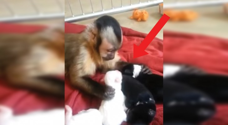 A monkey adopts motherless puppies!