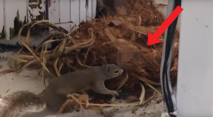 Ze besloten om hun palmen te snoeien, maar wisten niet dat deze bewoond waren: mama eekhoorn grijpt onmiddellijk in!