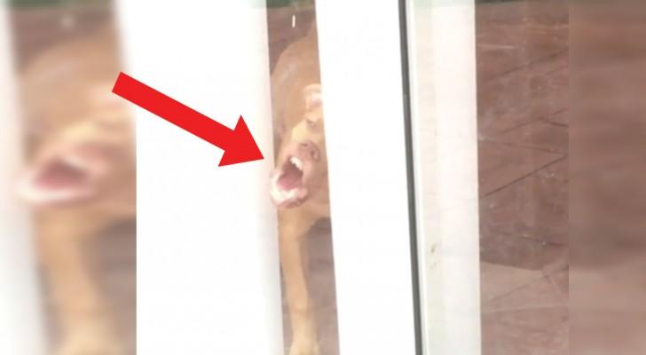 Questo cane vorrebbe tanto uscire ma la finestra è chiusa: il modo in cui cerca di aprirla è spassoso!