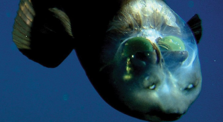 Dit is de Macropinna Microstoma, deze vis uit de diepe zee heeft een DOORZICHTIG hoofd