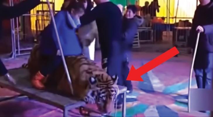 Immobilizzata per permettere agli spettatori del circo di salirci sopra: le riprese della tigre fanno rabbia