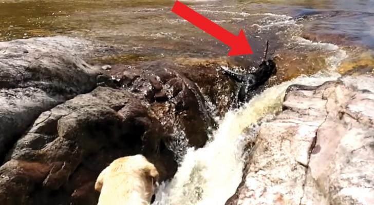 Een hond wordt weggezogen door de stroming, maar let goed op zijn kameraad... Wow!