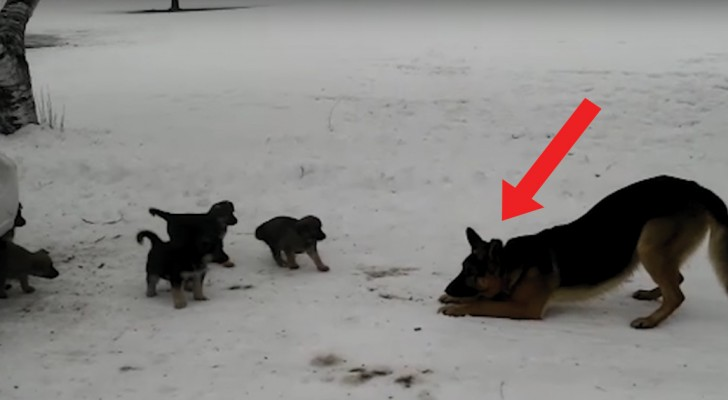 Ein Papa mit seinen Kleinen: die Begeisterung des Schäferhunds überrascht selbst die Welpen