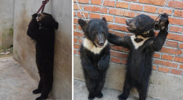 Come vengono addestrati gli orsi per farli stare su 2 zampe? Queste immagini sono la risposta
