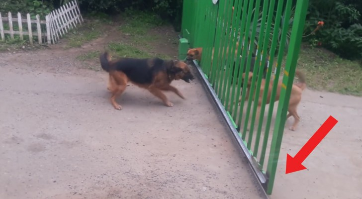 These fighting dogs bark ferociously until ...