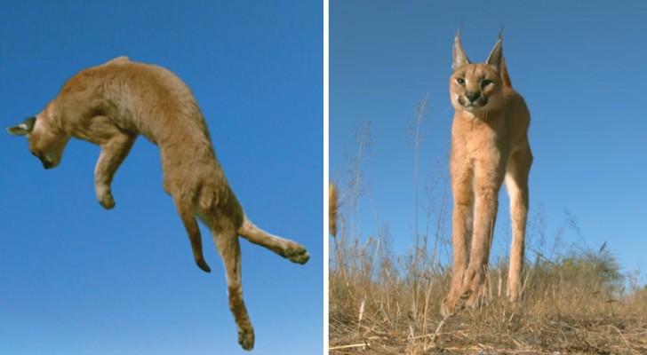 Come fanno i felini a cadere sempre sulle zampe? Ce lo spiega questo FANTASTICO slow motion