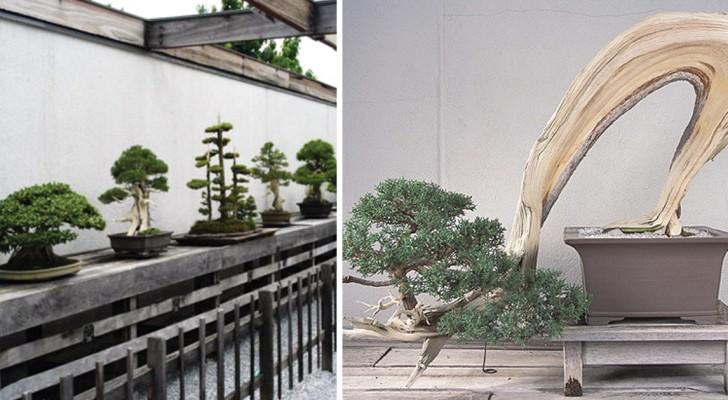 Ce musée en plein cœur des États-Unis abrite le bonsaï de 392 ans, qui a survécu à Hiroshima