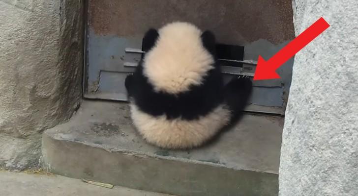 Aggrappato alla porta per giocare a dondolarsi: questo cucciolo di panda è un incompreso