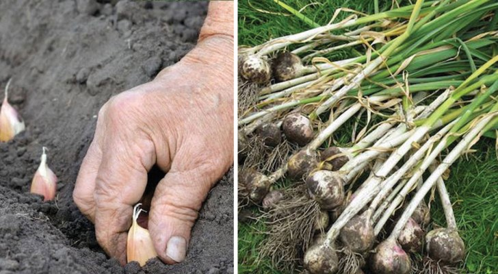 Grow your own fresh and tasty GARLIC!