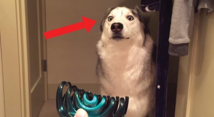 Husky VS pinza per capelli: la diffidenza del cane è inspiegabile ma divertentissima