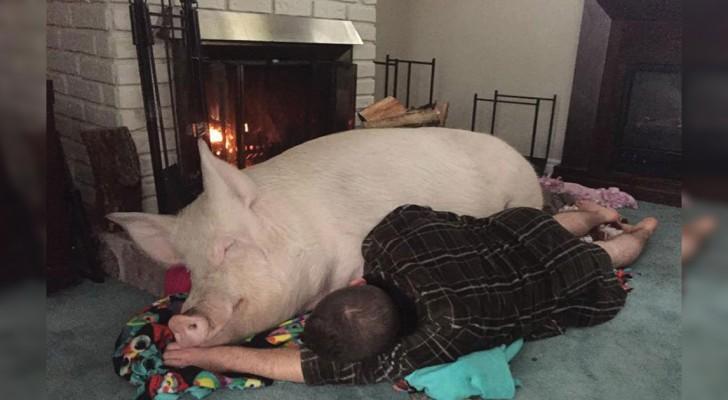 Comprano un maialino pensando sia di razza nana: 300 kg dopo la loro vita è RIVOLUZIONATA