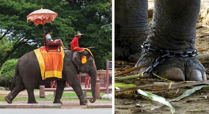 Escursione in elefante? Ecco la brutale realtà che vi si cela dietro