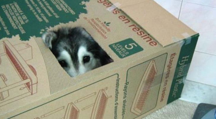 Dieser Husky wurde von Katzen aufgezogen und glaubt nun selbst, eine zu sein