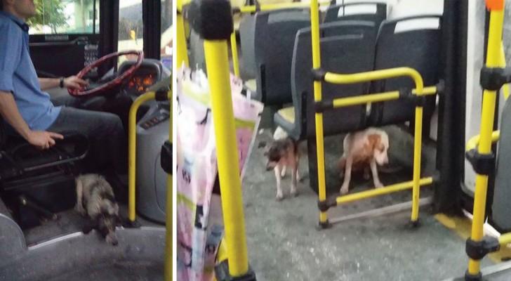 In città piove acqua a non finire: l'autista del bus si ferma e fa salire i cani randagi che incontra