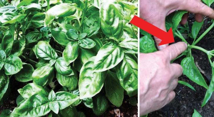 Il trucco del contadino: come far crescere la piantina di basilico in un folto cespuglio