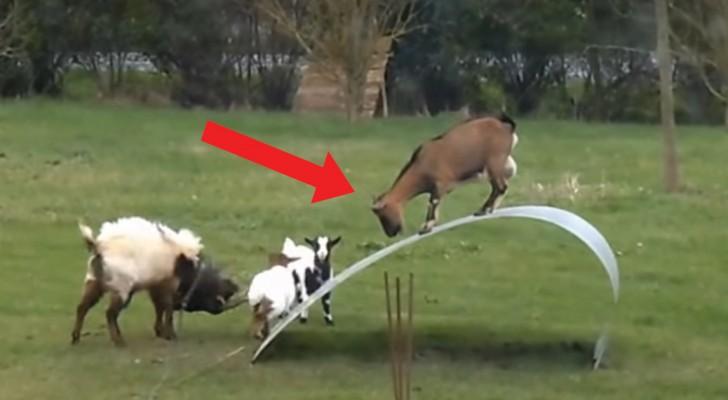 Installano una lastra di metallo nel giardino e le loro capre iniziano a usarla come... GIOSTRA!