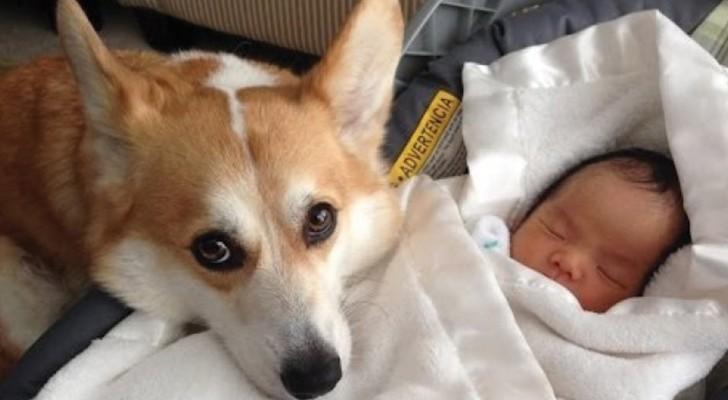 Cães que protegem suas crianças