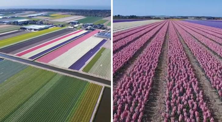 Holanda: todo o espetáculo de suas flores como você nunca viu!