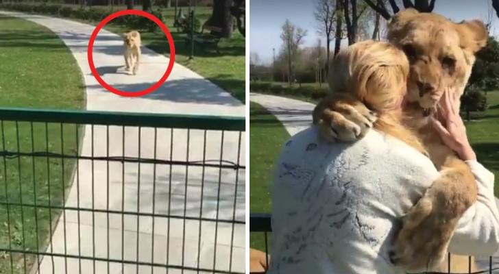 Deze twee leeuwinnen zien deze vrouw na lange tijd weer: het is duidelijk dat ze een diepe band delen!