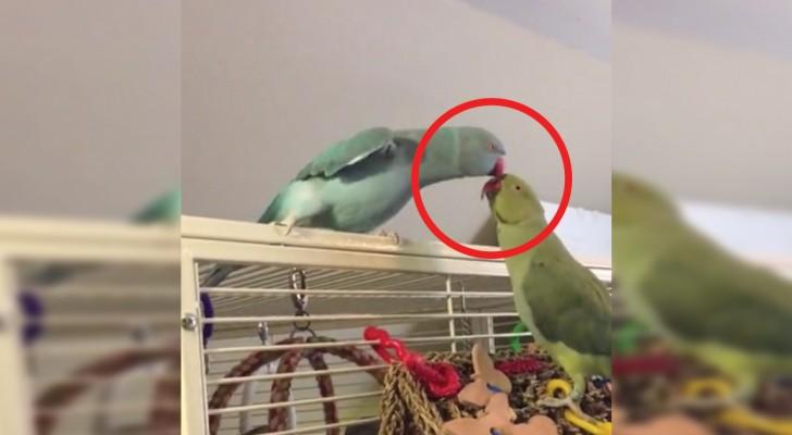 Deze papegaai 'aast' op de andere papegaai om een specifieke reden... deze reden doet je smelten!