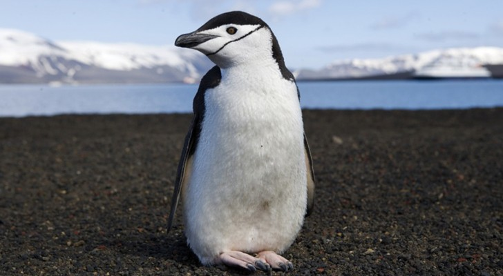 Een onderzoek naar pinguïns in 1911 was zo schokkend dat het meer dan een eeuw lang geheim werd gehouden