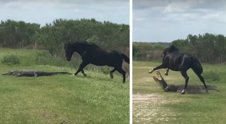 A horse lets an alligator know who is the boss!