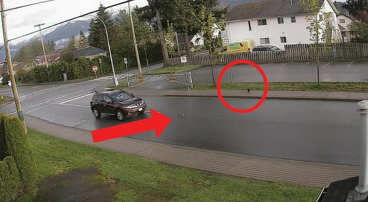 Een eekhoorn ontvlucht een kraai, een auto en een kat en dat allemaal binnen minder dan 1 minuut!