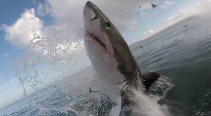 Un uomo filma uno squalo dalla gabbia finché l'animale fa un salto... Proprio davanti a lui!